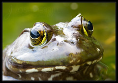 Mr Smiley (Josh Merrill Photography) Tags: copyright lake macro nature closeup digital illinois photographer arboretum places frog il josh toad allrightsreserved lisle bullfrog mortonarboretum marmo lakemarmo joshmerrillphotography joshmerrillphotographycom joshmerrill merrilljoshua