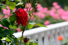 Rose Garden (shinichiro*) Tags: flower macro rose japan spring may 日本 crazyshin kawasaki 2012 神奈川県 川崎市 makroplanart2100zf 生田緑地バラ苑 晴れの日 nikond800e 20120520d012021