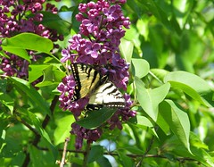 Chasing butterflies ..... (fyrrylikka) Tags: butterfly cottagecountry lilac bushes 2012