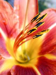 Hemerocallis fulva (orange Daylily) (AleksandraMicic) Tags: photographs images flowers lilly serbia aleksandramicic macroflowerloversgroup hemerocallisfulva orange daylily 7dwf flower plant macro serene colors texture pattern organicpattern abstract stamen pistil