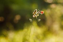 Butterfly (Norbert Krlik) Tags: summer green june butterfly bokeh 2012 canoneos5d canonef85mmf18usm