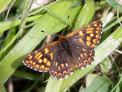 Duke Of Burgundy (chaz jackson) Tags: butterflies insects lycaenidae dukeofburgundy hamearislucina riodininae