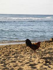 IMG_1955 (meestapeta) Tags: chicken hawaii kauai keebeach