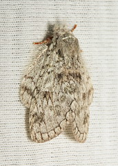 Notodontid Moth (Syntypistis perdix, Notodontidae) (John Horstman (itchydogimages, SINOBUG)) Tags: china macro insect moth lepidoptera notodontidae yunnan onwhite trap itchydogimages sinobug