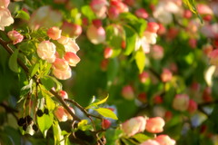 Crab Apple Blossoms (moodyfan (Julie)) Tags: pink green spring blossoms appleblossoms crabappleblossoms