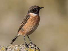 Stonechat - Saxicola torquata (normanwest4tography) Tags: male nature countryside chat wildlife depthoffield perch avian stonechat wildbird perchingbird sigma500f45 canon7d2