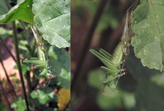 Molting - 12 V 2016 (el.gritche) Tags: france garden 40 orthoptera tettigoniidae molting meconemathalassinum meconema