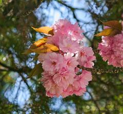 Apr 20: Blooming Above (Johan Pipet 2M+ views) Tags: pink blue red sky flower macro tree canon spring europe flickr blossom bokeh eu sunny jar bloom slovensko slovakia palo bratislava strom bartos kvet modrá červená dubravka ružová bartoš