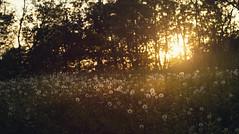 ... (proffkom_) Tags: sunset sun tree grass rural vintage 50mm countryside spring village asahi takumar f14 ukraine dandelion analogue manual smc bukovina retrolens