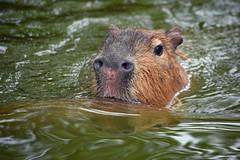 Water Loving Rodents (MTSOfan) Tags: swim rodent capybara epz