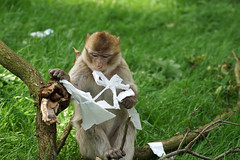 monkey's paper work (okrakaro) Tags: art nature animal germany zoo monkey mai 3yearsold papier werk paperwork kunstwerk rheine 2016 barbarymacaque berberaffe dreijahrealt