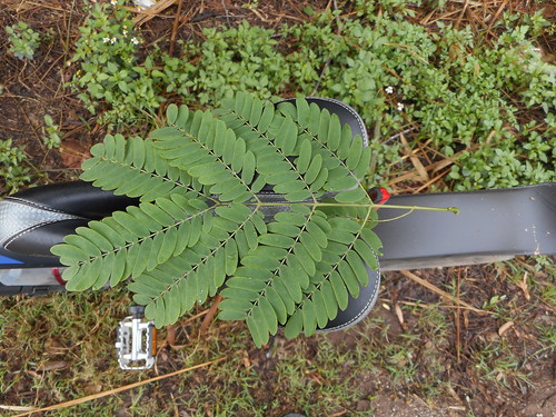 Albizia odoratissima (L.f.) Benth. Fabaceae Mimisoideae-black siris, Ceylon rosewood, กางขี้มอด