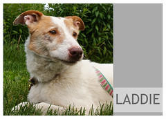 Laddie-05 (Ali Crehan) Tags: dog may shelter 2016
