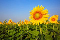 Beautiful sunflower (Krunja) Tags: blue summer sky orange sun plant flower green nature floral beautiful beauty field yellow closeup rural circle season landscape botanical thailand outside leaf spring flora colorful natural bright blossom outdoor earth farm vibrant background country farming meadow culture overcast sunny scene petal clear growth crop plantation sunflower agriculture botany th blooming tambonnikhomsangtoneng changwatlopburi
