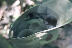 IMG_4910 (Mercar) Tags: european mink hiiumaa lko euroopa mustela naarits lutreola