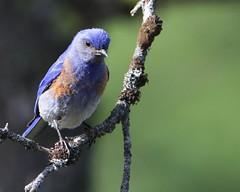 My Morning Blues ...    :) (Paridae) Tags: blue bluebird birdsofafeather featheredfriends afewofmyfavouritethings westernbluebird sialiamexicana thingswithwings bluebirdofhappiness birdsofbritishcolumbia canoneos7d birdsoftheokanagan familymuscicapidae subfamilyturdinae