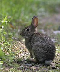 wild-rabbit-26w (egdc211) Tags: rabbit bunny nature outdoors cottontail connecticutwildlife naturewatcher newenglandwildlife newenglandwildlifephotography