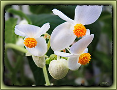 Begonia mollicaulis (Martin Volpert) Tags: flower fleur flor pflanze begoniaceae blomma blume fiore blte blomster virg lore bloem blm iek floro kwiat flos ciuri kvet kukka cvijet flouer blth cvet zieds is floare blome iedas mavo43 begoniamollicaulis