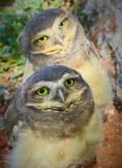 Coruja-buraqueira (Athene cunicularia) (Paula Souto) Tags: owl coruja ave filhote
