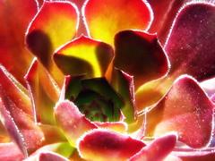 カシミヤバイオレット(多肉植物) (ebi-katsu) Tags: plants flower canon succulent aeonium ixy 多肉植物 アエオニウム ベンケイソウ 930is サンシモン カシミヤバイオレット