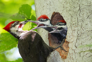 Hungry Pileated Woodpecker chicks