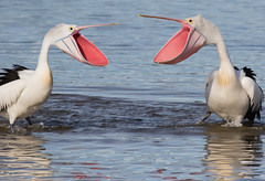 A whole lot of love (christinaportphotography) Tags: pink blue wild bird love water birds focus dof bills action bokeh free australia pelican nsw ritual centralcoast courting beaks australianpelican pelecanusconspicillatus
