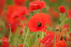 One of many (Future-Echoes) Tags: red flower nature dof bokeh depthoffield poppy poppies cambridgeshire 2016 flintcross