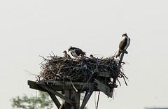 Osprey Family (Neil DeMaster) Tags: bird nature nest wildlife raptor osprey birdofprey fishhawk seahawk pandion haliaetus ospreynest ospreyfamily