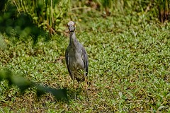I Said Do Not Disturb! (brev99) Tags: bird heron nature ngc marsh d7100 oxleynaturecenter hdrefexpro tamron70300vc highqualityanimals