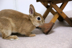 Ichigo san 216 ICHIGO san  (mensore) Tags: family pet brown cute rabbit bunny dwarf netherland ichigo   netherlanddwarf