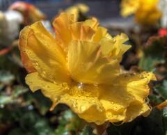 raindrops on petalsw, Winchester UK (neilalderney123) Tags: flower olympus winchester macrorain 2016neilhoward