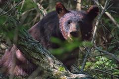 Black Bear, Great Smoky Mountains NP (sniggie) Tags: summer wildlife nationalparkservice sow blackbear cadescove ursusamericanus greatsmokymountainsnp
