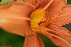 Hémérocalle (Annelise LE BIAN) Tags: animaux fleurs insectes hémérocallecommune lysdelasaintjean syrphes orange closeup alittlebeauty coth