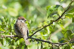 Tree Sparrow (182/366) (AdaMoorePhotography) Tags: wild brown tree green bird nature animal nikon natural wildlife yorkshire sparrow essex treesparrow 366 eastriding 200500mm