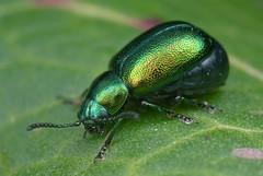 Green Dock Beetle (Gastriophysa viridula)) (steb1) Tags: dock beetle coleoptera chrysomelidae rumexobtusifolius gastrophysaviridula
