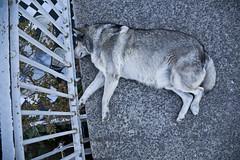 perro dormido 4 (gabriel lv) Tags: chile perros valparaso dormidos