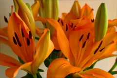 Lilies (John_Smith_photos) Tags: flowers orange green canon eos 50mm closed raw lily vibrant gimp style stamens lilies saturation pollen f18 lilium stigma filament 500d ufraw tepal