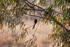 IMG_7290L4 (Sharad Medhavi) Tags: bird canoneod50d birdsandbeesoflakeshorehomes