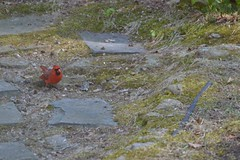 Brave (Loreen Ritter) Tags: bird cardinal malecardinal beautifulbird northamericancardinal brightredbird babymalecardinal