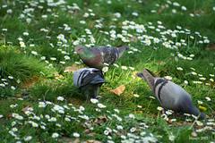 Luce naturale_Explore del giorno 05 Aprile_foto n.377 :) (Mauro Bettarel) Tags: light verde natural natura uccelli colori prato animali luce vita giardino colombi