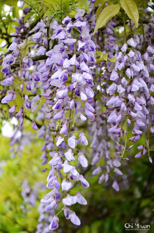 竹子湖紫藤02.jpg