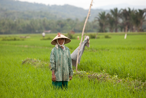 Healthy rice field, Bireuen, Indonesia. Photo by Mike Lusmore/Duckrabbit, 2012