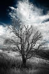 Vecchio solitario (Maver-71) Tags: nature landscape ir infrared albero paesaggi appenninotoscoemiliano pavullo appenninosettentrionalealpinatura