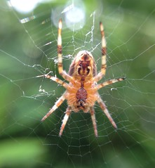 "Garden cross spider • <a style=""font-size:0.8em;"" href=""http://www.flickr.com/photos/57024565@N00/7168814203/"" target=""_blank"">View on Flickr</a>"