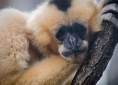 2012.131 (White Cheeked Gibbon) (smartyarty41) Tags: nikon 365 pittsburghzoo whitecheekedgibbon project366 55300mm d5100