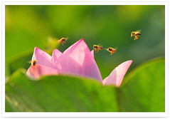 9918    Lotus Blooms    Flora .   .  - Nature Life . Flowers Field .      Tainan Baihe District .   .. Pink Lotus with Flying Bees - Flowers of TAIWAN (deepblue68) Tags: life county flowers light shadow summer sunlight flower color nature sign landscape outdoors photography photo flora scenery asia natural image lotus earth space bees explorer seasonal scenic culture taiwan explore vision environment  tainan moment formosa   scape         baihe  nelumbonaceae    nelumbo    tainancounty    nucifera    lotusblooms    apathwayhomecom deepblue68