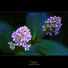 Tweeeeeeeeeeeeeeeeeeen (Nguyn Hong (Mattoet)) Tags: pink flowers light black flower beautiful closeup leaf petals natural petal l lanscape hoa artphoto p hoangnguyen thinnhin nguyenhoang cnh nguynhong nguyenhoangarc hoangnguyenarc