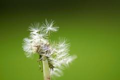 Pusteblume (www.arternative-design.com) Tags: macro photography nikon fotografie pflanze micro 28 nikkor blume makro vr frhling 105mm lwenzahn pusteblume dandelionseedhead d7000 nikond7000