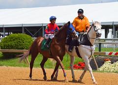 2012-05-10 (6) r1 Gustavo Larosa on #5 Jack Seabrook (JLeeFleenor) Tags: pimlico marylandracing marylandhorseracing horses thoroughbreds caballo cheval faras ma hest hevonen each alogo soos kuda gigi cavallo uma pfeerd koin حصان кон cavalo 马 konj häst άλογο סוס घोड़ा 馬 koń лошадь jockey جُوكِي 赛马骑师 jinete τζόκεϊ 競馬騎手 jóquei คนขี่ม้าแข่ง жокей džokej žokej kilparatsastaja rennreiter fantina 경마기수 dżokej jocheu jokey chestnut maryland