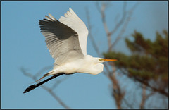 Egret Flyby (MurrayH77) Tags: lighthouse bird island nc wildlife bodie outer banks obx